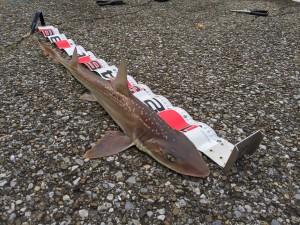ホシザメ 74cm