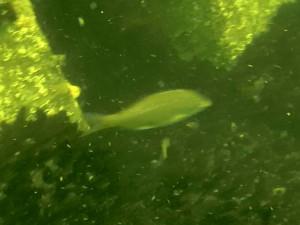 大黒海釣り施設 釣り動画 ウミタナゴ