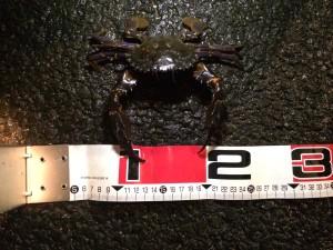 ワタリガニ25cm