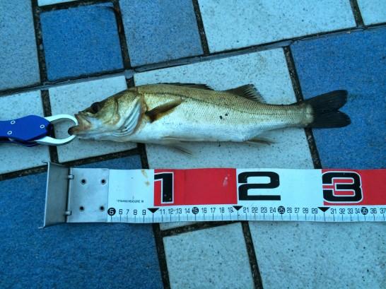 セイゴ35cm