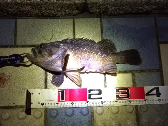 珍魚40cm