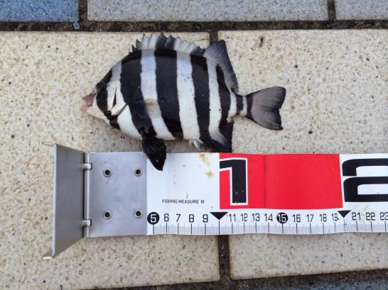シマダイ15cm