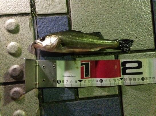 セイゴ23cm