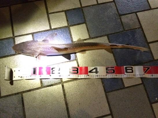 ホシザメ75cm