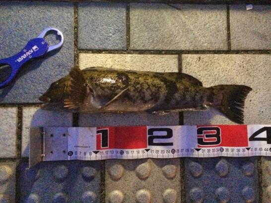アイナメ41cm