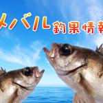 メバル爆釣シーズンはいつ?!東京湾奥のメバル釣果情報(集計期間:2015年4月16日~4月22日)
