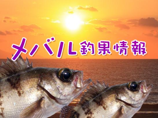 メバル釣果情報