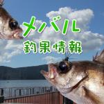 GW明けで平穏を取り戻した釣り場でメバルの釣果は?!東京湾奥のメバル釣果情報(集計期間:2015年5月7日~5月13日)