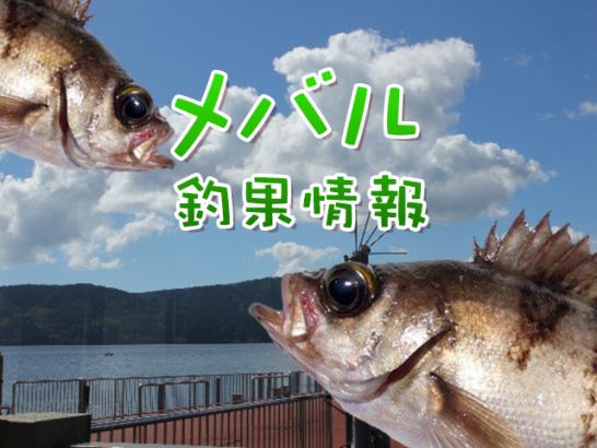 東京湾奥のメバル釣果情報