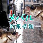 梅雨入り前でメバルの姿は?!東京湾奥のメバル釣果情報(集計期間:2015年5月21日~5月27日)