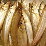 お盆明けでシロギスは?!東京湾陸っぱりシロギス釣り釣果情報(集計期間:2015年8月13日~8月19日)