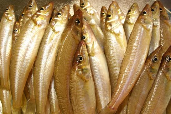 シロギス 釣って良し!食べて良し!シロギス釣り特集!東京湾陸っぱりシロギス釣り釣果情報(集計期間