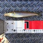 海の女王がやってきた?!東京湾陸っぱりシロギス釣り釣果情報(集計期間:2015年6月11日~6月24日)