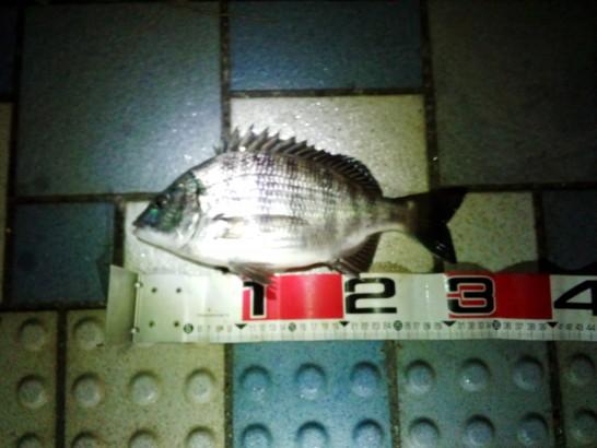 クロダイ32cm