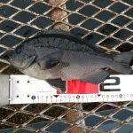 雨の日にまさかの尺メジナ?!大潮の大黒海づり施設へ朝釣りに行ってみました。