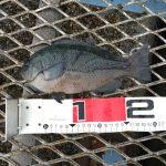 雨でも混雑なのか?!大黒海づり施設へ朝釣りに行ってみました。