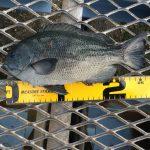 師走に入り釣果は?!12月の大黒海づり施設へ夕マズメ狙いで釣りに行ってみました。
