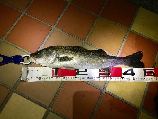 フッコ51cm