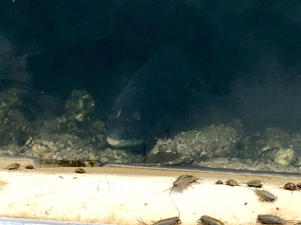 豊洲ぐるり公園 見えチヌ クロダイ